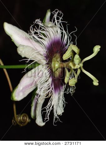 Passion-Fruit Flower