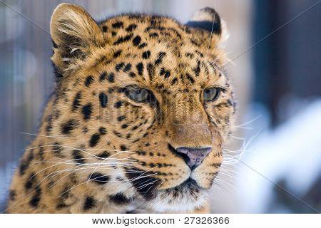 Leopard closeup in Novosibirsk Zoo