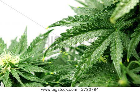 Bush de um cânhamo com gotas