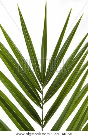 Palm frond isolated on white background