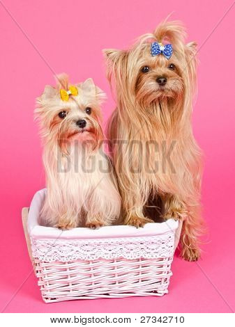 Two puppies girl/ bitch and boy/ male in the basket isolated