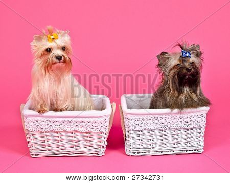 Two puppies girl/ bitch and boy/male inside pink and blue baskets