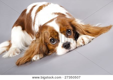 Litter of Cavalier King Charles spaniel