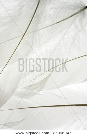 white swan feathers background.