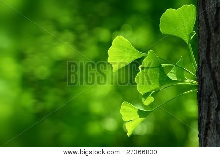 Outdoor ginkgo biloba leaves ,Closeup.