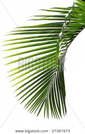 Green palm tree on white background