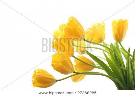 Tulipas amarelas isoladas no fundo branco