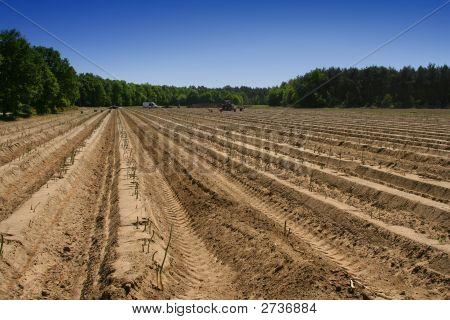 Asparagus Field