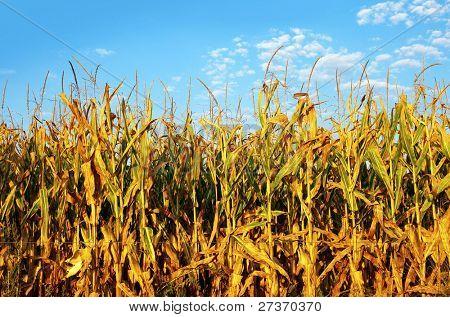 Mature corn field under a blue sky at sunset.
