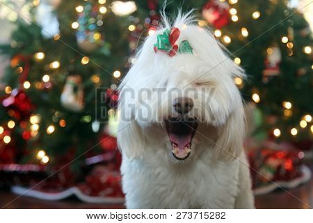 poster of Beautiful Christmas Dog. A beautiful White Dog poses for Christmas Portraits by a Christmas Tree.