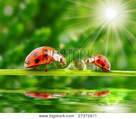 Ladybugs family on a grass bridge over a spring flood.