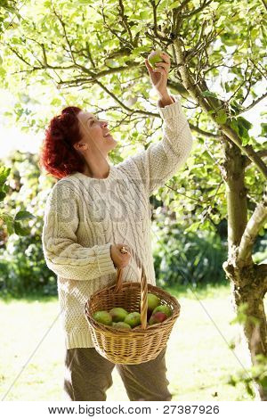 Woman picking apples off tree