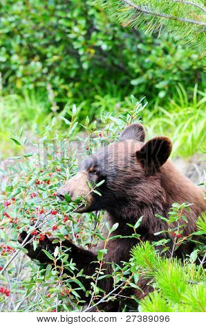 Brown colored black bear eating buffalo berries in Jasper, Canada