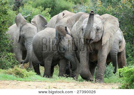 Amigos do elefante africano