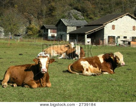 Alpine Swiss Cows And Bull On Dairy Farm