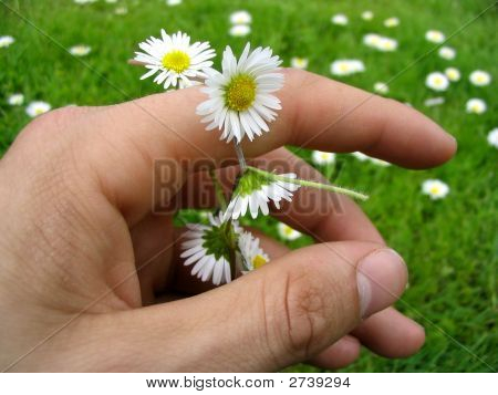 Flower Chain Of Daisies