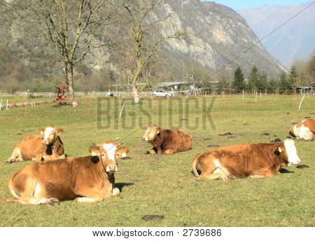 Dairy Cows In Switzerland