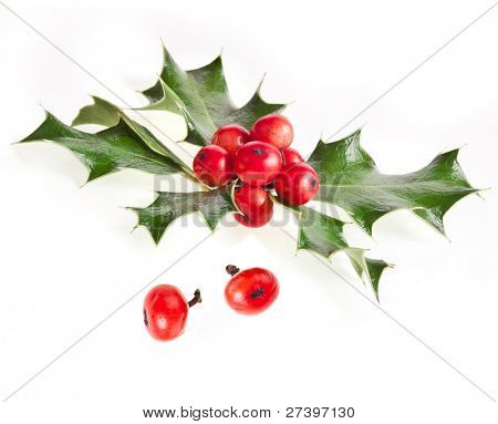 Sprig of European holly (Ilex aquifolium) close up ,  isolated on white
