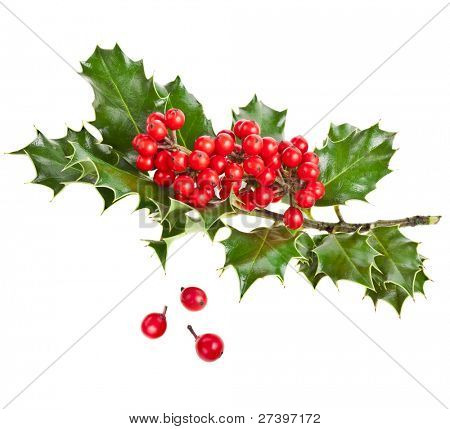 Sprig of European holly (Ilex aquifolium) isolated on white