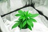 Growing Marijuana At Home Indoor. Close Up. Cannabis Plant Growing. Cultivation Growing Under Led Li poster