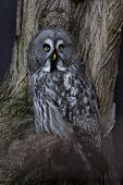 stock photo of hedwig  - The Great Grey Owl  - JPG