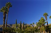 pic of washingtonia  - Fan Palms Trees washingtonia filifera Mountains Palm Springs California - JPG
