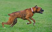 picture of seeing eye dog  - A male Brindle Boxer dog leaps forward at the start of his run - JPG