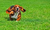 Basset Hound in motion