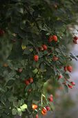 Close-up Of Dog-rose Berries. Dog Rose Fruits (rosa Canina). Wild Rosehips In Nature.close-up Of Dog poster