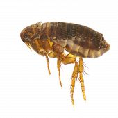 image of flea  - Ctenocephalides felis cat flea or flea isolated on a white background