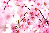 stock photo of may-flower  - Beautiful Pink Flower Blossom on White - JPG