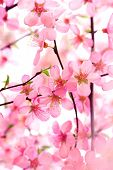 foto of may-flower  - Beautiful Pink Flower Blossom on White - JPG