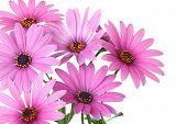 Постер, плакат: Цветок Розовая маргаритка изолированные на белом фоне