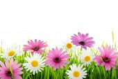 picture of daisy flower  - Daisy flower in green grass - JPG