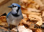foto of blue jay  - bird - JPG