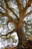 picture of centenarian  - Centenarian cork tree with large trunk and and thick bark - JPG