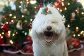 Beautiful Christmas Dog. A beautiful White Dog poses for Christmas Portraits by a Christmas Tree.  poster