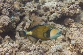 Titan Triggerfish On Coral Reef In Red Sea Off Sharm El Sheikh, Egypt poster