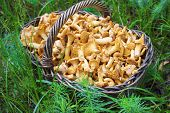 Wicker Basket With Wild Mushrooms Chanterelles On Green Grass Background poster