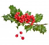 picture of aquifolium  - Sprig of European holly  - JPG