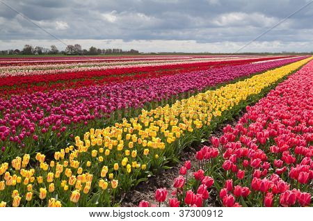 Colorful Field With Rows Of Tulips