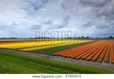 Rows Of Orange And Yellow Tulip Fields