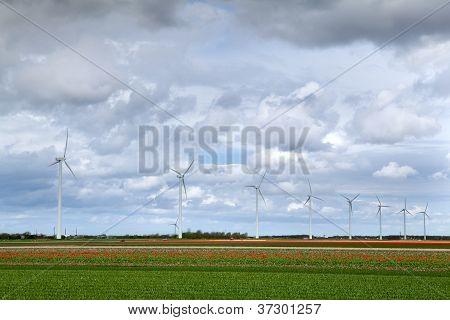Tulip Fields And Windmills