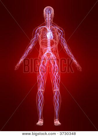 Sistema Vascular resaltado