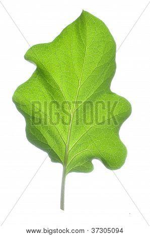 Auberginen Leaf
