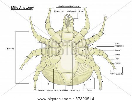 Dust Mite Or Tick Anatomy With Labels