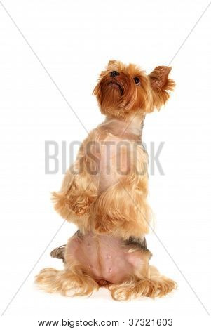 The Yorkshire Terrier obeys