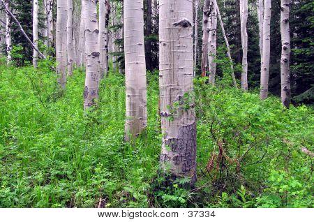 Aspen Tree Forest 2