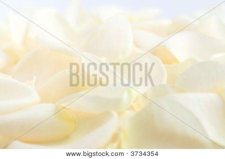 Pale Rose Petals