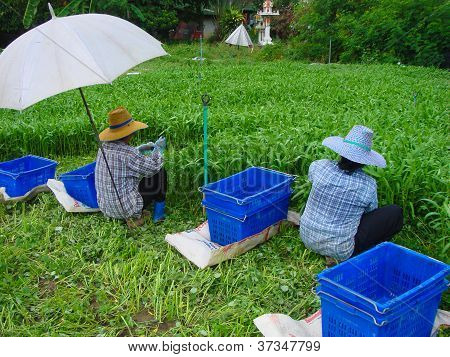 Vegetables Harvesting